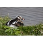 Long-tailed Duck. Photo by Gaukur Hjartarson. All rights reserved.