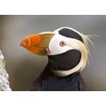 Tufted Puffin. Photo by Dave Kutilek. All rights reserved