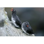 Parakeet Auklets. Photo by Bryan J. Smith. All rights reserved.
