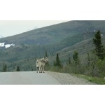 Gray Wolf on the Park Road. Photo by Rick Taylor. Copyright Borderland Tours. All rights reserved.