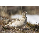 Rock Ptarmigan. Photo by Dave Kutilek. All rights reserved