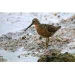 Short-billed Dowitcher. Photo by Bryan J. Smith. All rights reserved