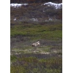 Mother Grizzly with three cubs near Nome. Photo by Rick Taylor. Copyright Borderland Tours. All rights reserved.