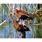 Black-bellied Whistling-Ducks. Photo by Rick Taylor. Copyright Borderland Tours. All rights reserved.