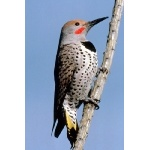 Gilded Flicker. Photo by C. Allan Morgan. All rights reserved.