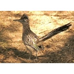 Greater Roadrunner. Photo by Rick Taylor. Copyright Borderland Tours. All rights reserved.