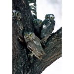 Western Screech-Owls. Photo by Rick Taylor. Copyright Borderland Tours. All rights reserved.