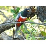 Wintering Elegant Trogon. Photo by Rick Taylor. Copyright Borderland Tours. All rights reserved.