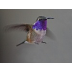 Lucifer Hummingbird. Photo by C. Alan Morgan. All rights reserved.