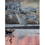 Sandhill Cranes at Whitewater Draw. Photo by Rick Taylor. Copyright Borderland Tours. All rights reserved.