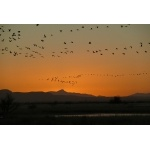 Sandhill Cranes against a Willcox Sunset. Photo by Rick Taylor. Copyright Borderland Tours. All rights reserved.