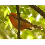 Flame-colored Tanager. Photo by Rick Taylor. Copyright Borderland Tours. All rights reserved.