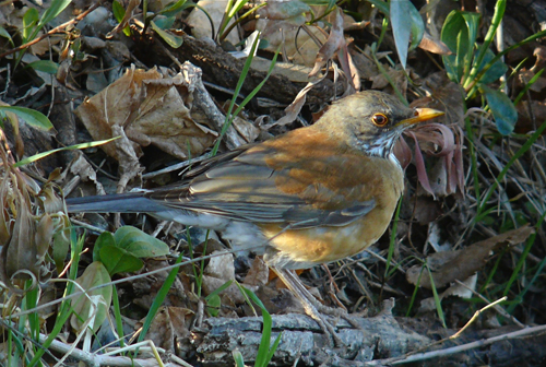 Rufous-backed Robin, female. Photo by Rick Taylor. Copyright <strong><strong>Borderland Tours</strong></strong>. All rights reserved.