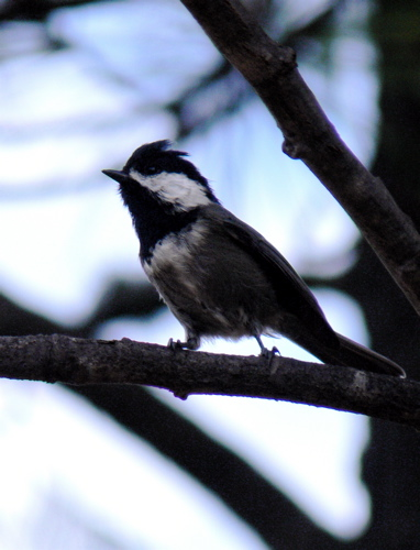 mexican chickadee endemic to the chiricahua mountains on public lands in the united states photo by rick taylor copyright <strong><strong>Borderland Tours</strong></strong> all rights reserved 20140329 1057508335