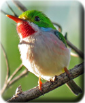 2017 newsletter button - Cuban Tody