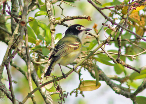 Black-capped Vireo. Photo by John Yerger. Copyright <strong>Borderland Tours</strong>. All rights reserved.