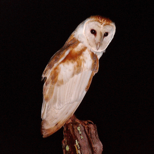 Barn Owl. Photo by Rick Taylor. Copyright <strong><strong>Borderland Tours</strong></strong>. All rights reserved.