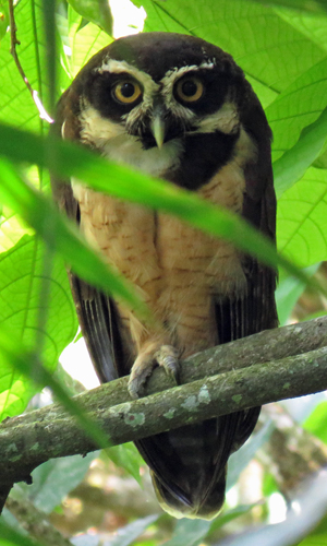 Spectacled Owl. Photo by John Yerger. Copyright <strong><strong>Borderland Tours</strong></strong>. All rights reserved.