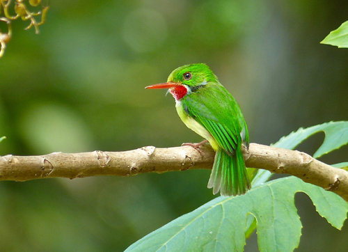 Jamaican Tody. Photo by Rick Taylor. Copyright <strong><strong>Borderland Tours</strong></strong>. All rights reserved.