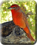 Photo gallery icon - Hepatic Tanager