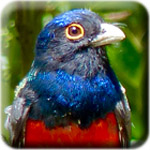 Registration button - Surucua Trogon